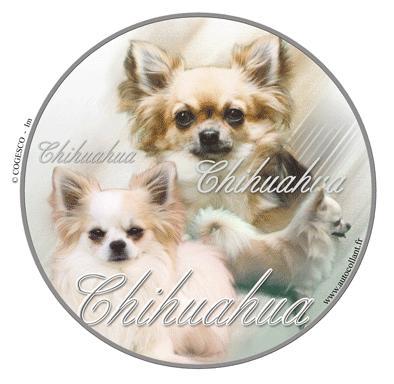 Chihuahua kort og langhår